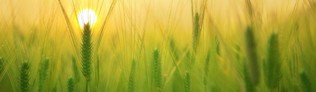 barley-field-1684052_1920(1)